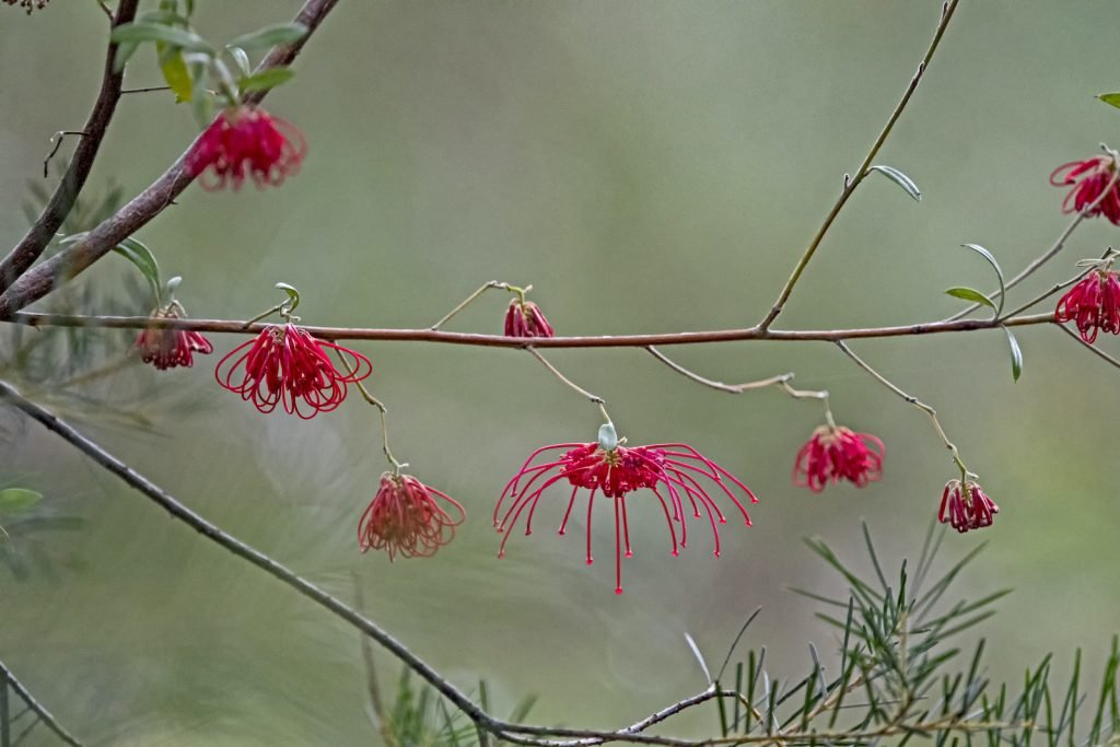 The red spider flower is another example of a species of colorful flower native to Australia.