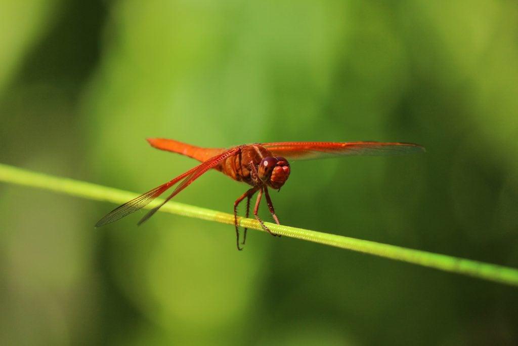 Red dragonfly resting on plant stem