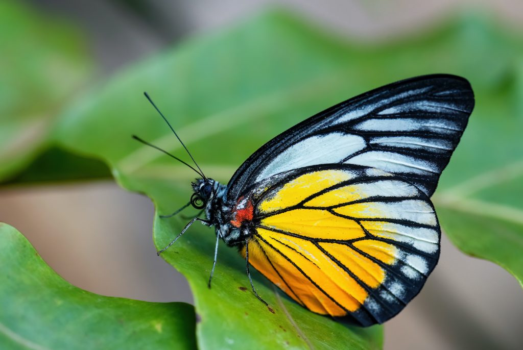 The Redspot Sawtooth has whitish upper wings and yellow lower wings with black veining.
