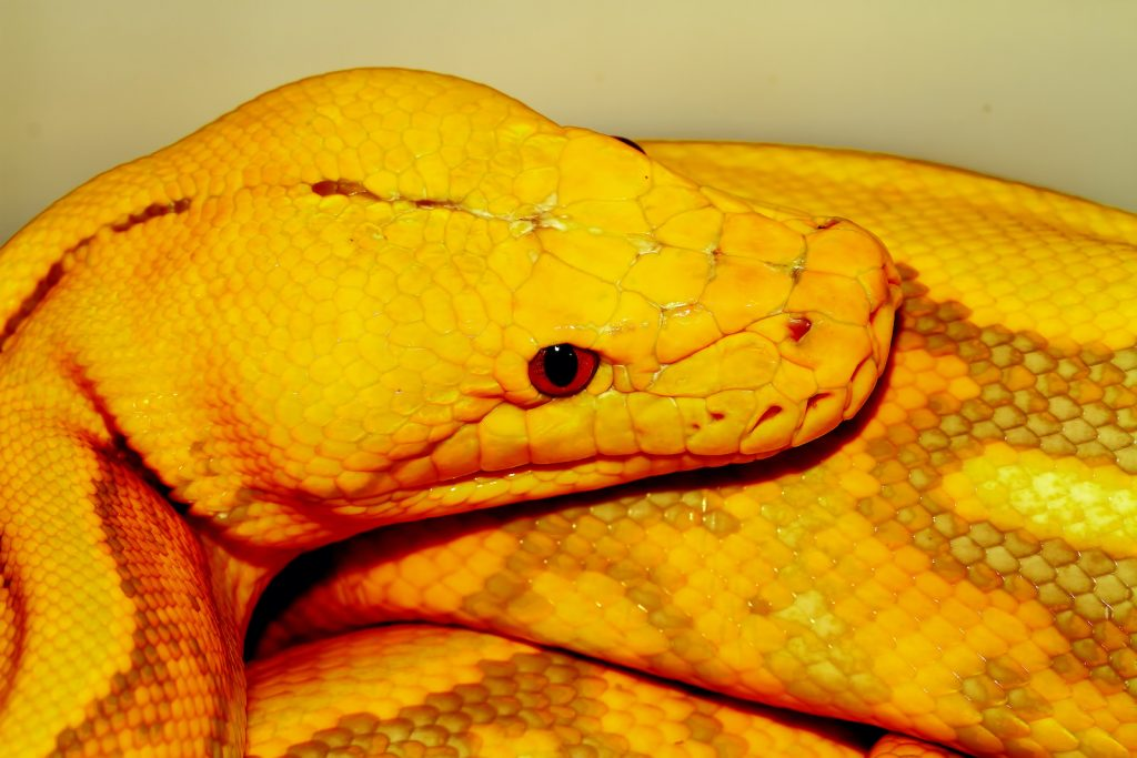 Reticulated pythons are one of the very few snakes large enough to eat humans.