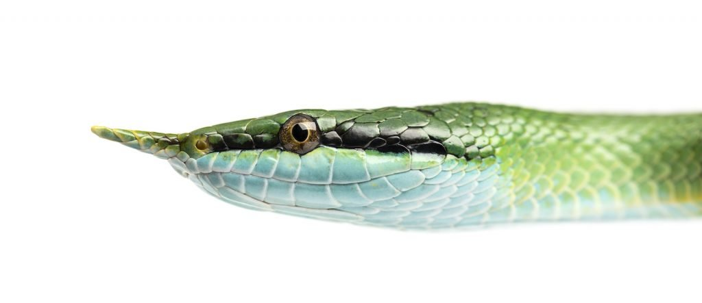 The rhinoceros snake is named for the scaly