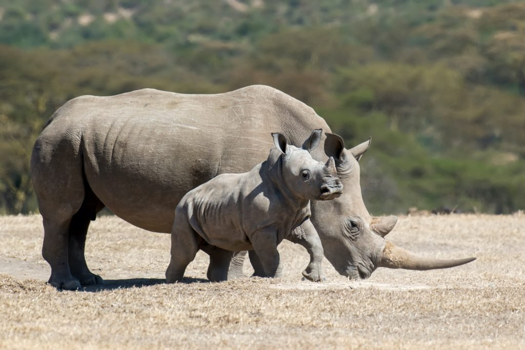 Most rhinoceros species are hairless but have gray skin.