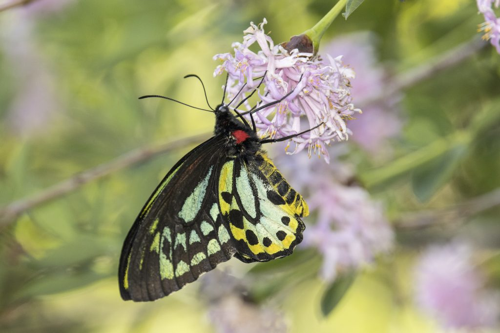 The Richmond Birdwing is another of the stunning birdwing species of butterfly.