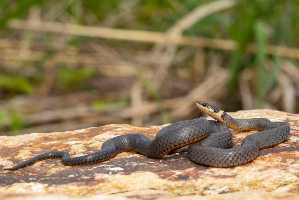 The ring-necked snake is found in most of the United States, southeastern Canada, and central Mexico.