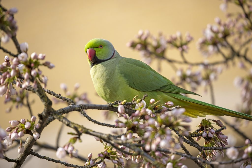 The rose-ringed parakeet is one of the most adaptable parrot species.