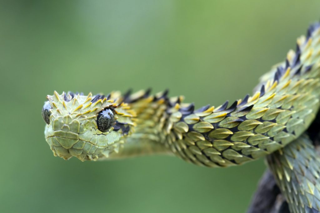 Rough-Scaled Bush Vipers are sometimes called hairy bush vipers.
