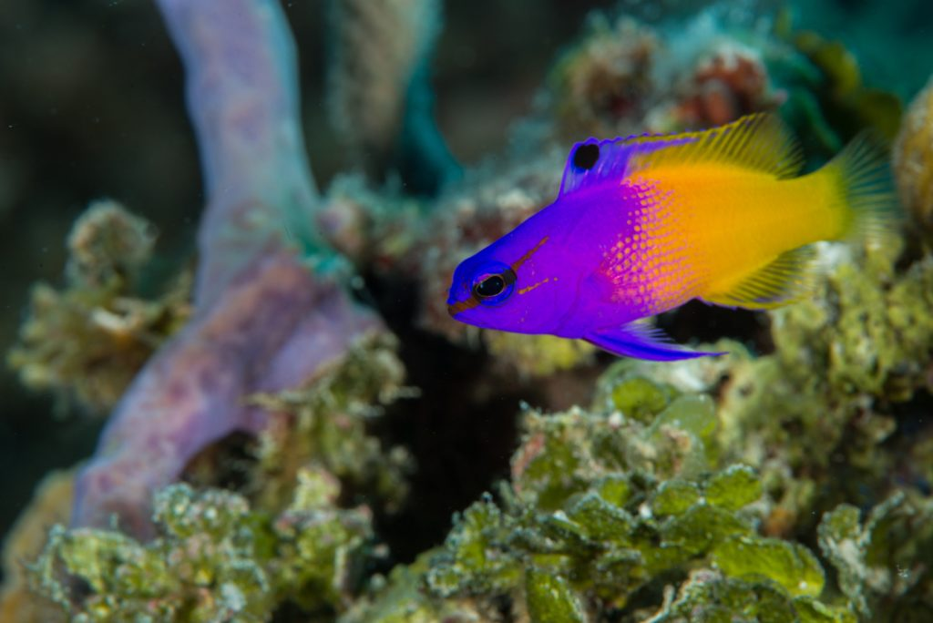 Royal grammas like to select hiding spots in rock crevices, and they will chase off smaller fish that try to intrude.