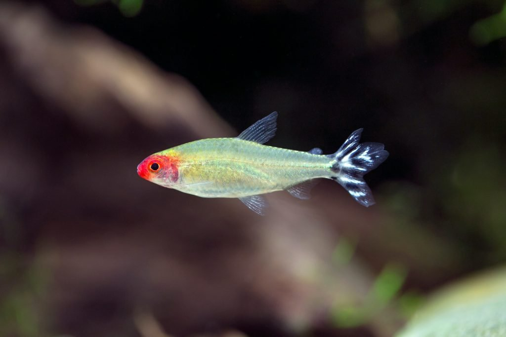 Rummy-Nose Tetra are mostly silvery-white and sometimes have a greenish, iridescent sheen.
