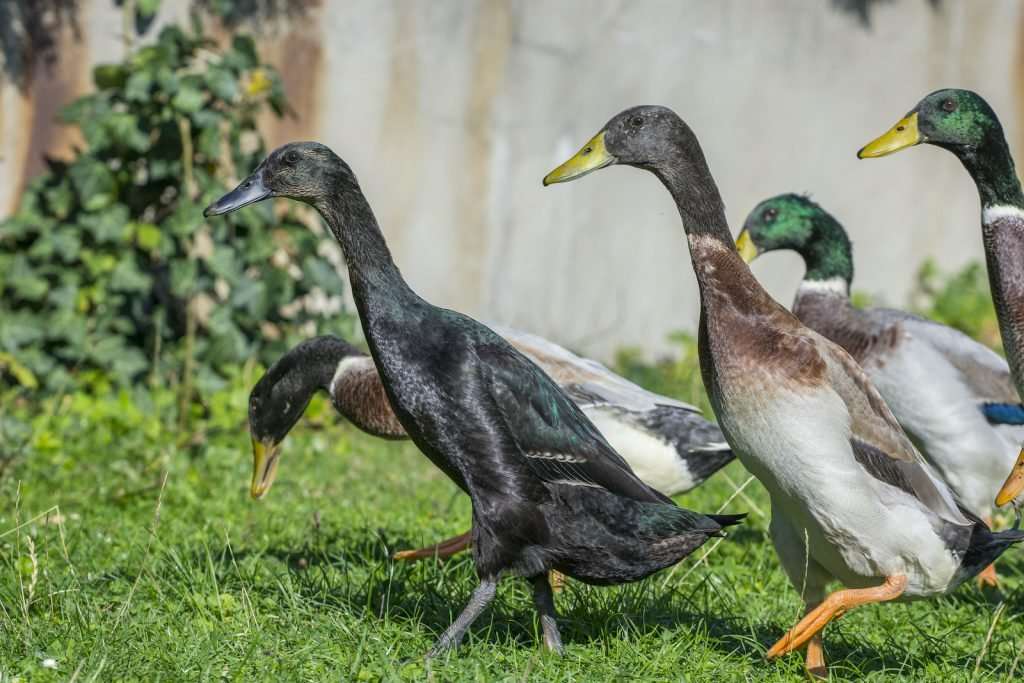 Runner ducks have a characteristic upright appearance that's reminiscent of a penguin.