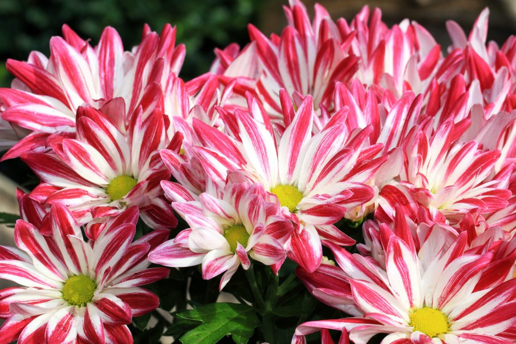 Saba Chrysanthemum are jewel-toned in color.