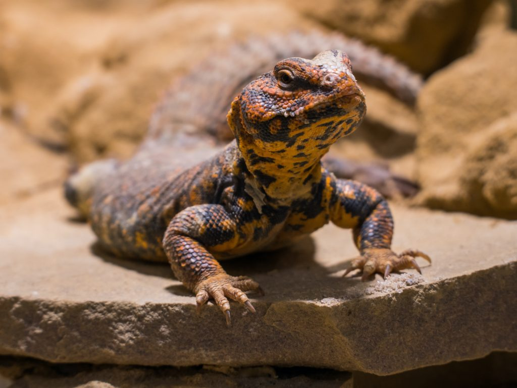 Uromastyx have quiet, gentle natures, making them a great choice for those new to keeping reptiles.