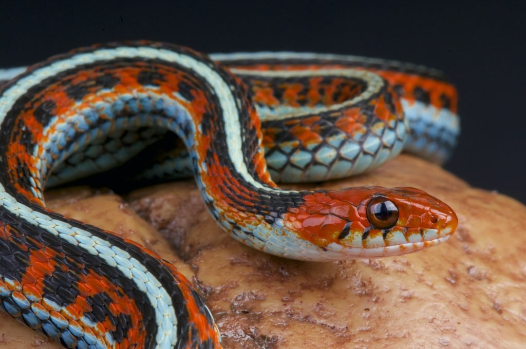 The San Francisco Garter Snake is a subspecies of the common garter snake.