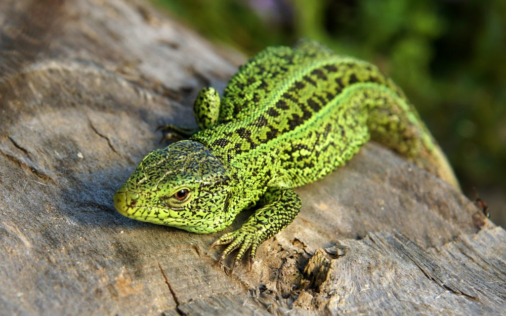 The sand lizard is a common sight through much of Europe, especially in the eastern portions.
