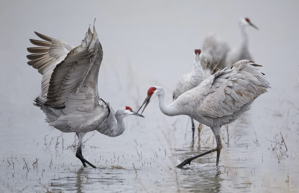 Sandhill cranes also have more complex calls than other birds.