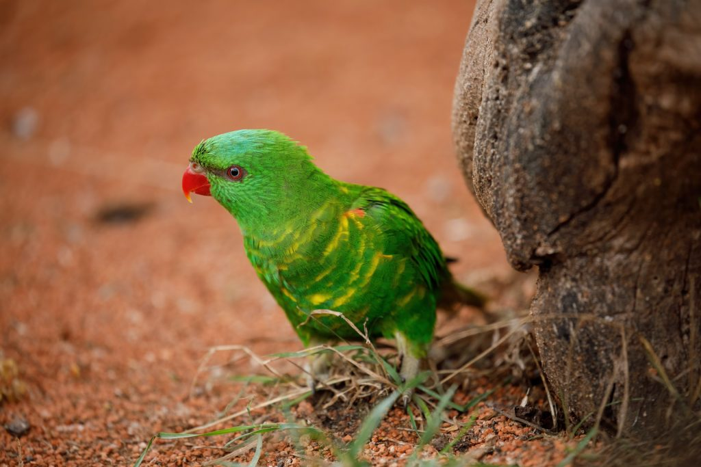 The scaly-breasted lorikeet is one of the lesser-known types.