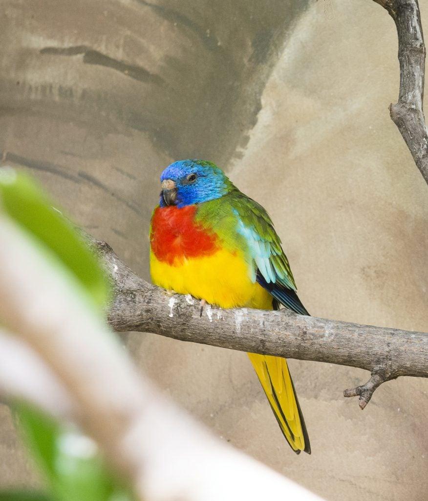 The Scarlet-Chested Parakeet lives in the desert of Australia.