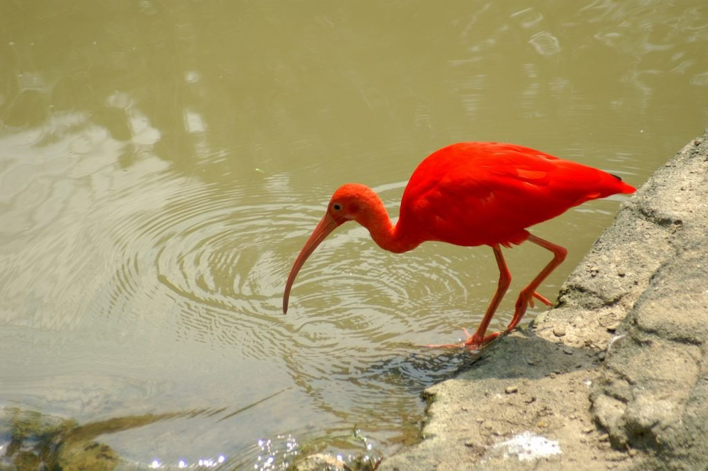 You might think this bird looks like a flamingo at first, but the scarlet ibis is generally deeper and more intense in color.