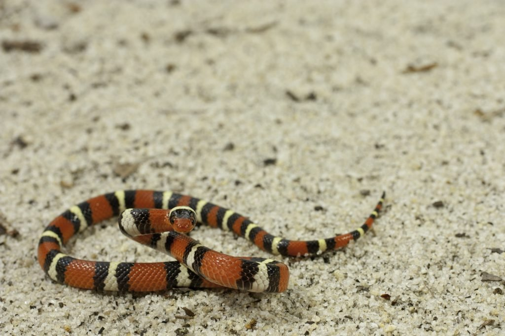The scarlet kingsnake looks a lot like a coral snake, but it has no venom.