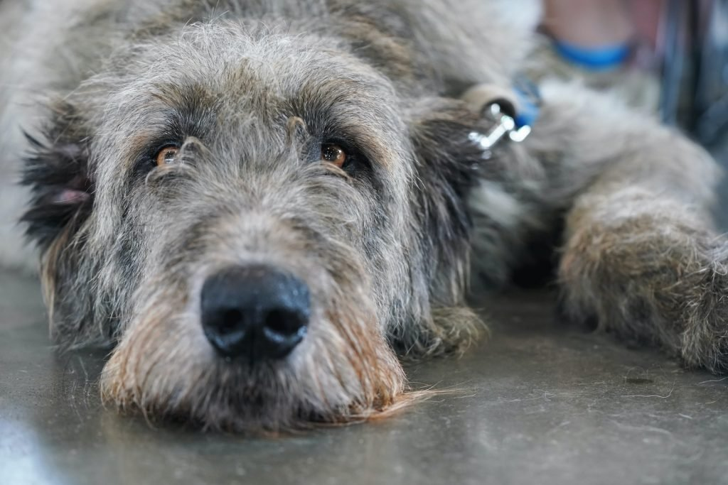 Scottish Deerhounds can reach over 32 inches in height.
