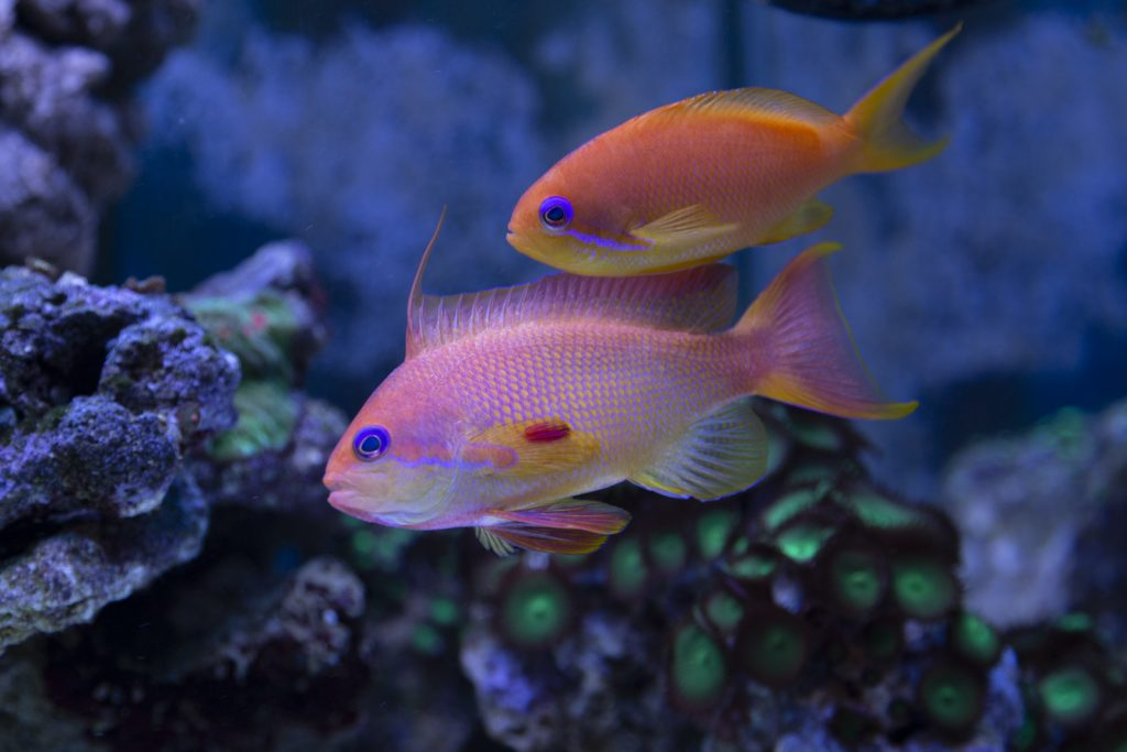 The Sea Goldie is no ordinary goldfish.