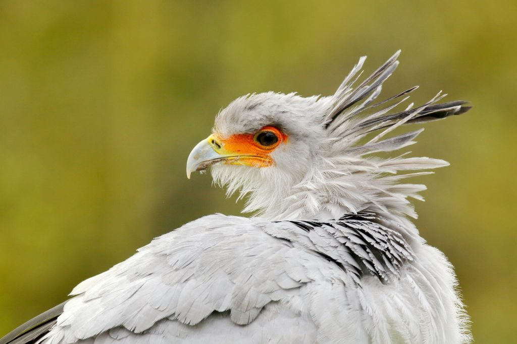 Secretary birds are tall with black legs and tails and light gray necks and chests.
