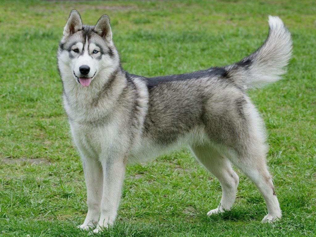 The Siberian husky is a popular pet dog.
