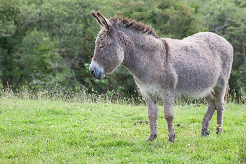 Sicilian donkeys make great companions for horses.