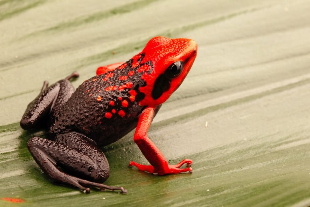 Silverstone's Poison Frog look a lot like they've had paint spilled on their heads.