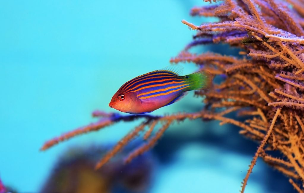 Six-line wrasses find a cavity in a coral reef and then wrap themselves in a cocoon.
