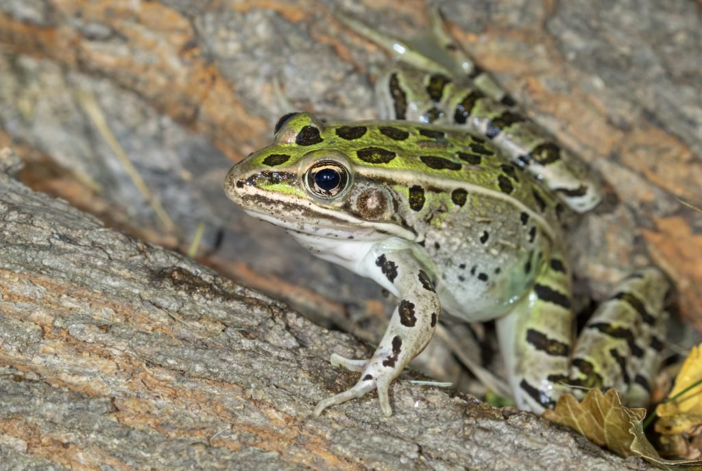 The Southern leopard frog is a fairly common sight in its range.