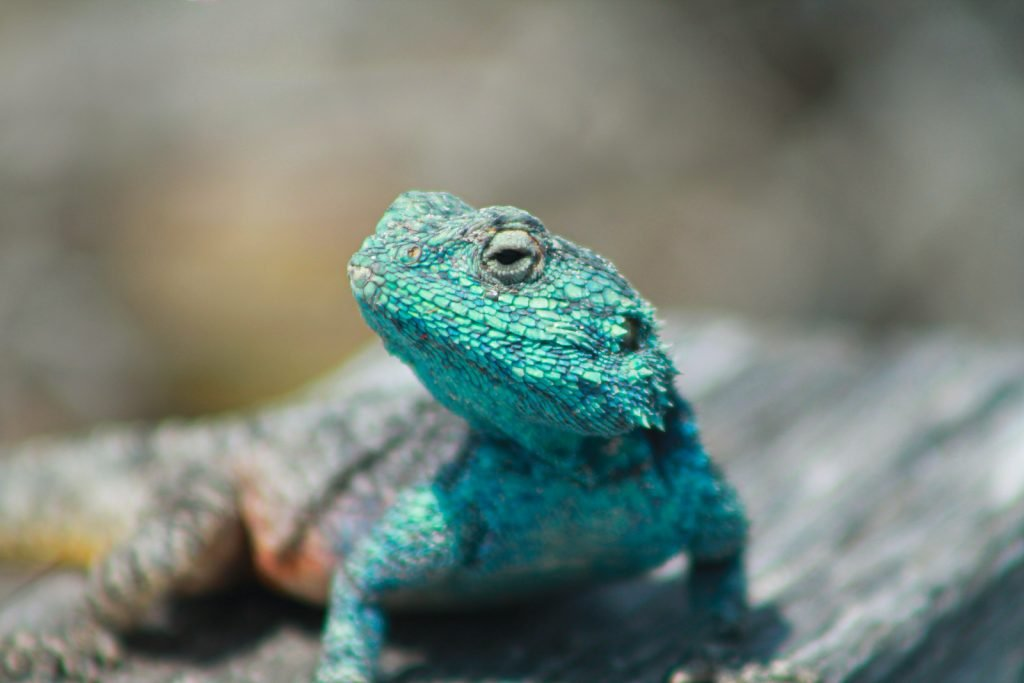 The Southern Rock Agama can camouflage into its rocky habitats.
