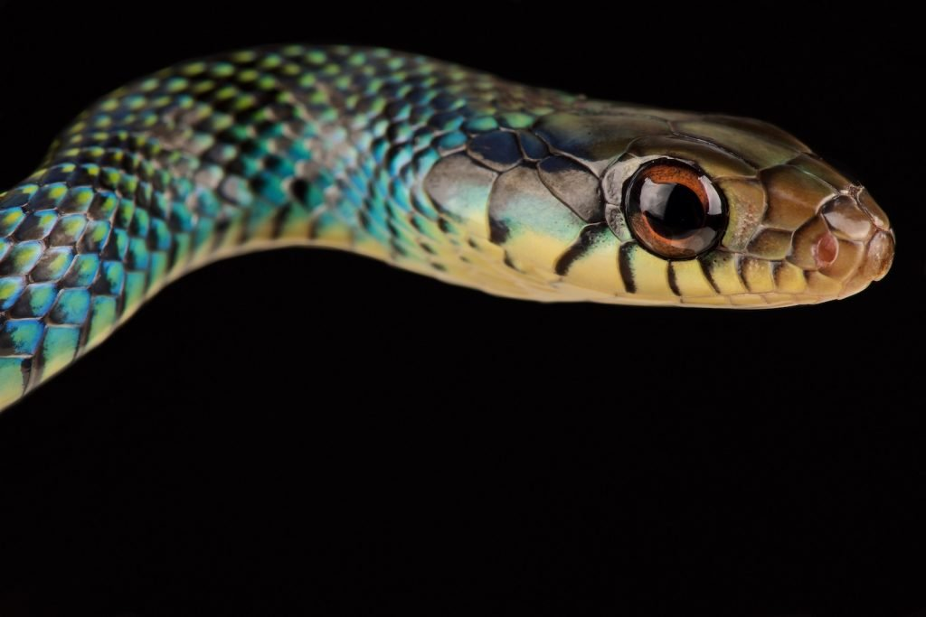 The speckled racer, though it is common in its range, is a truly magnificent snake.