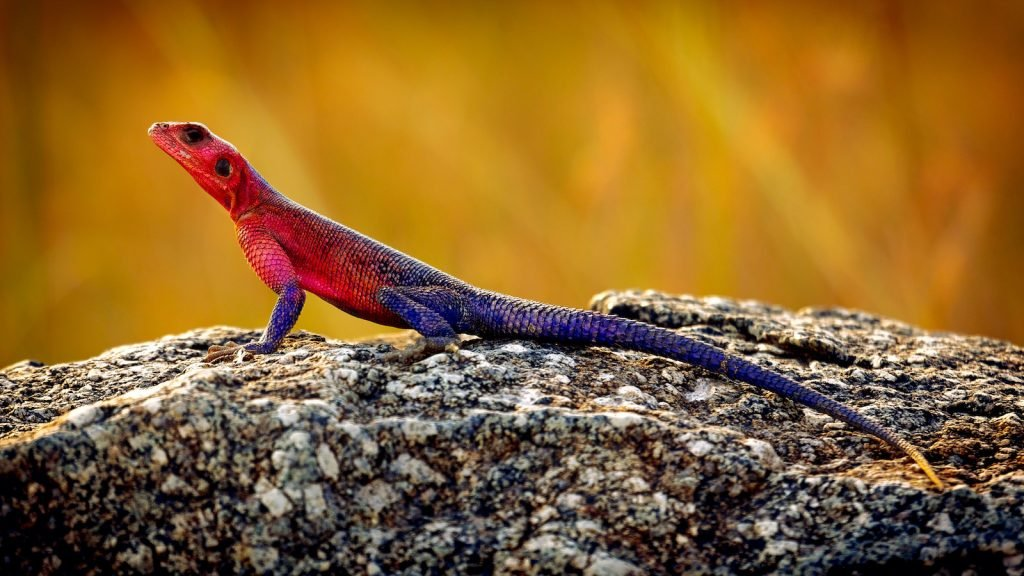 The Spider-Man Agama is one of the most spectacularly colored members of the agama family.