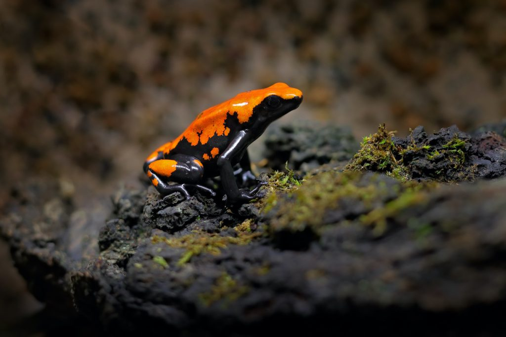 The splash-backed poison frog is one of the poison dart frogs that's seen routinely in captivity.