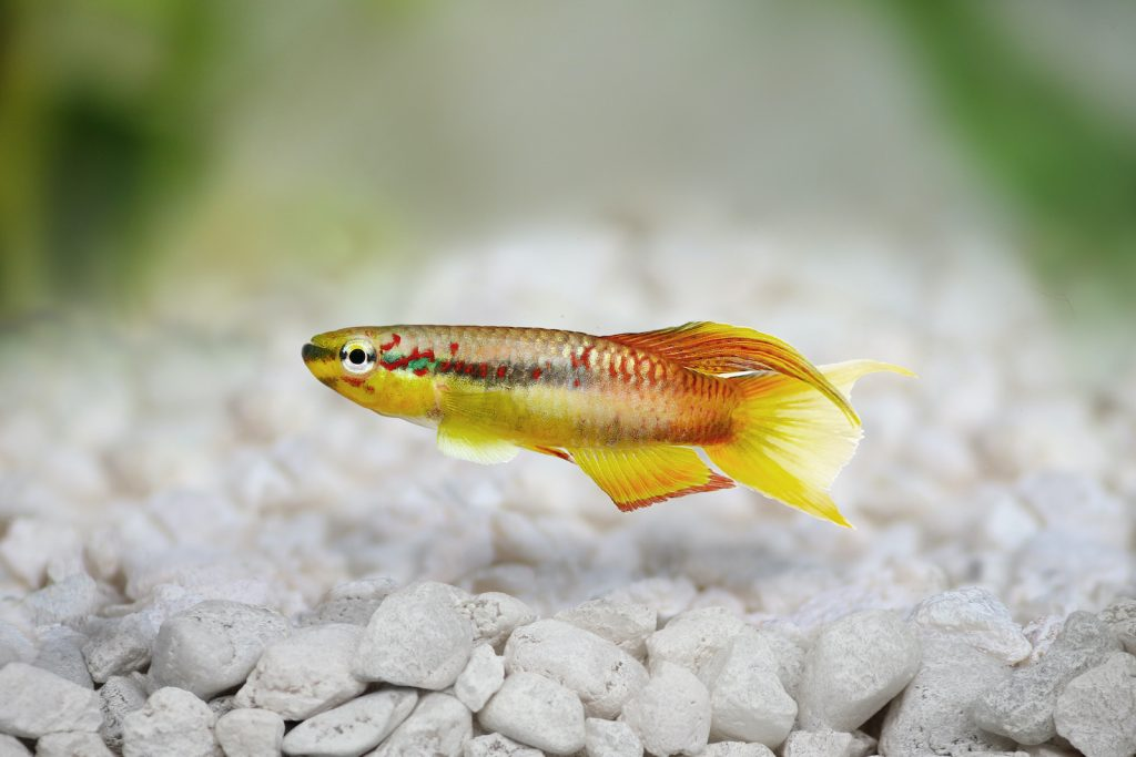 Splendid Killifish are quiet and peaceful, and they do very well when you keep them in pairs.