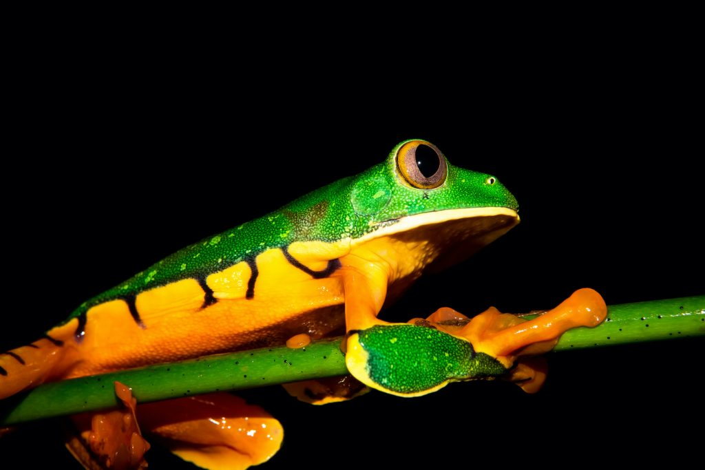 Splendid Leaf Frogs are bright in color.