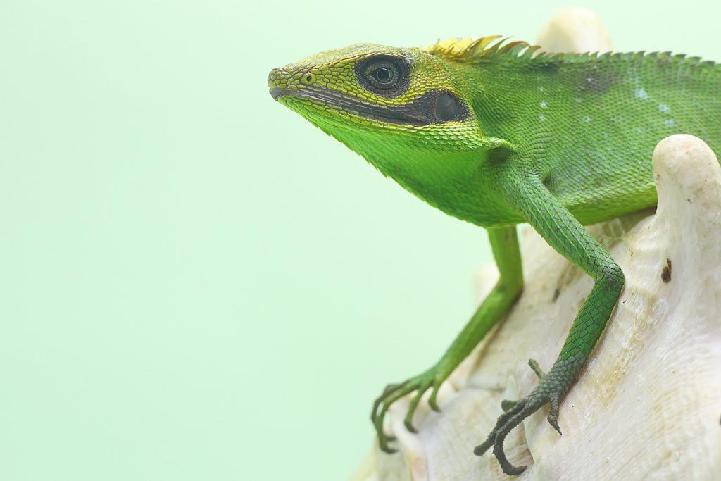 The Sumatran Bloodsucker looks a little like green crested lizards at first, but their facial markings set them apart.