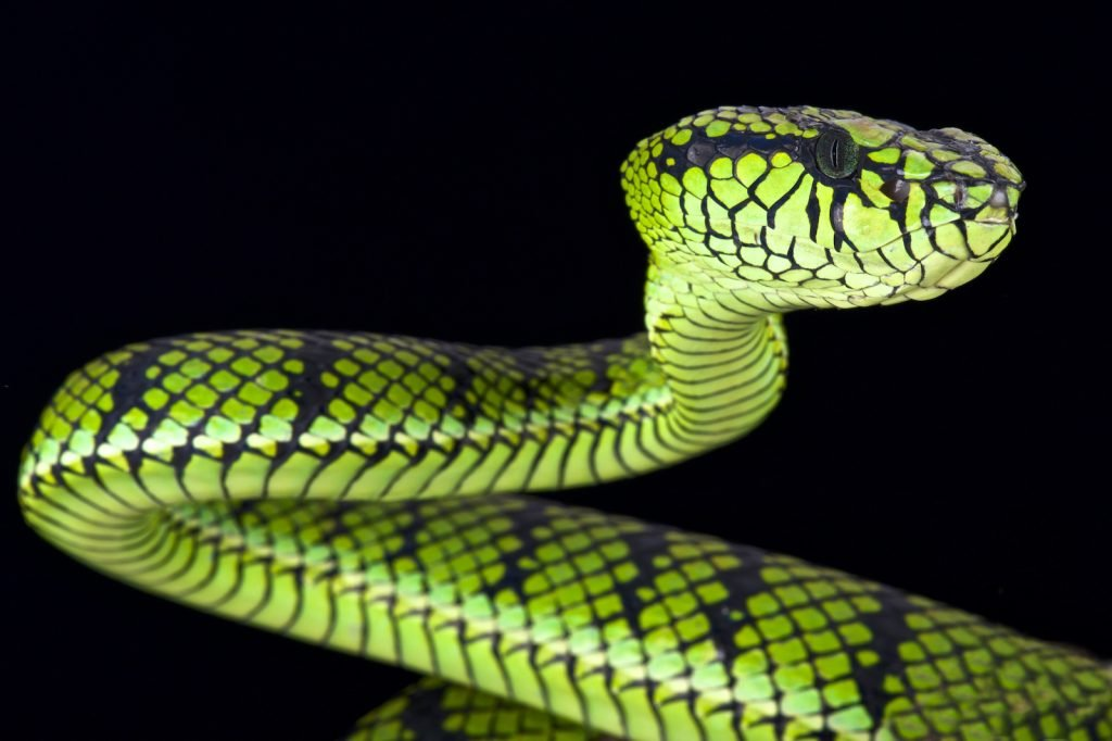 The Sumatran pit viper is yet another elegant viper species. Don't let its beauty fool you, though.