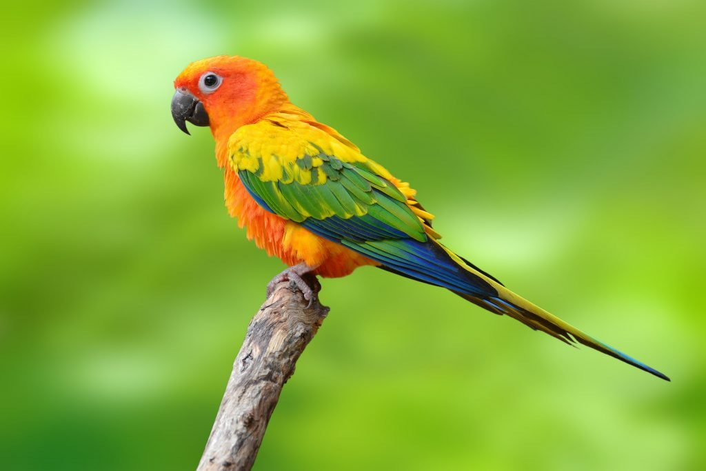 The sun conure, also called the sun parakeet, is endangered in the wild.