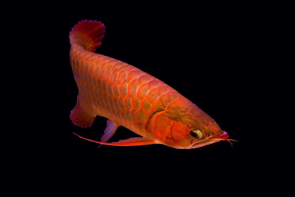 The Super Red Asian Arowana variant is popular among enthusiasts for its especially bright colors.