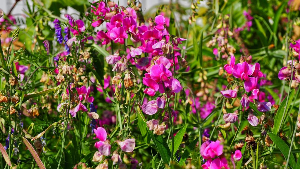 The Sweet Pea Flower prefers cool, well-drained, and nutrient-rich soil.