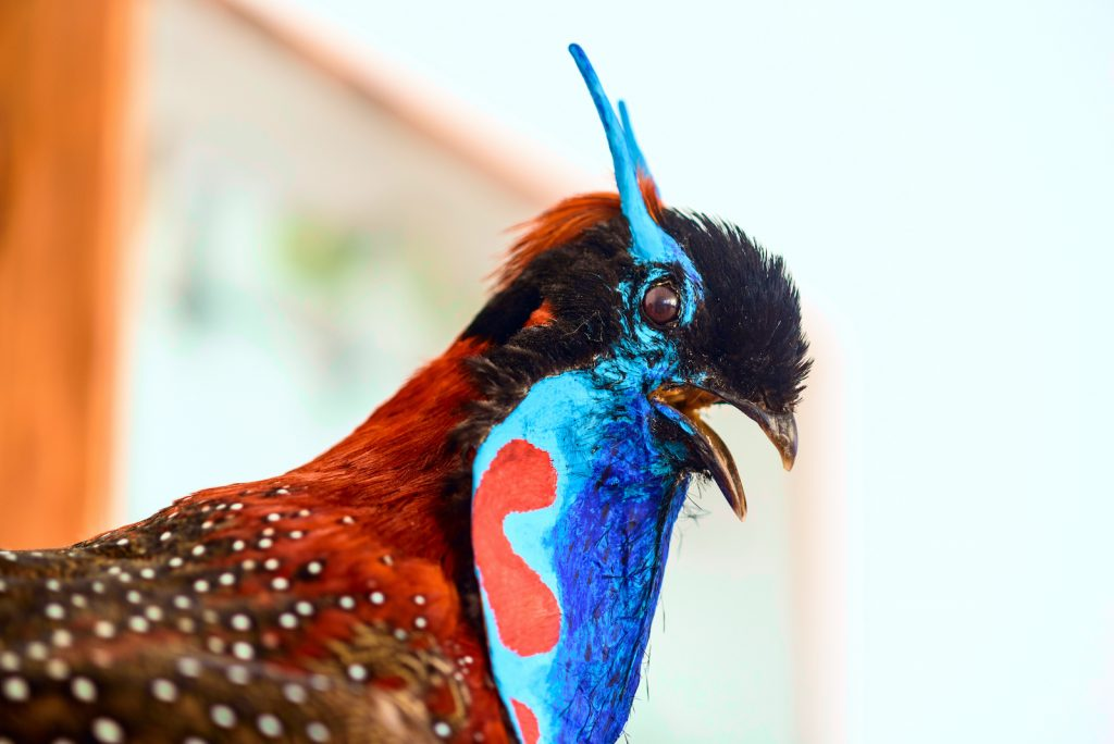 The Temminck's Tragopan is a type of pheasant found in parts of Asia.