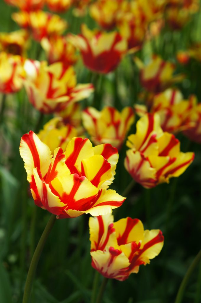 The Texas Flame Tulip has petals striped with yellow and red.