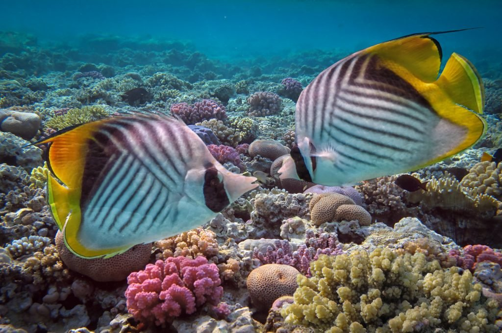 Threadfin Butterflyfish get their name from the thread-like yellow trail.
