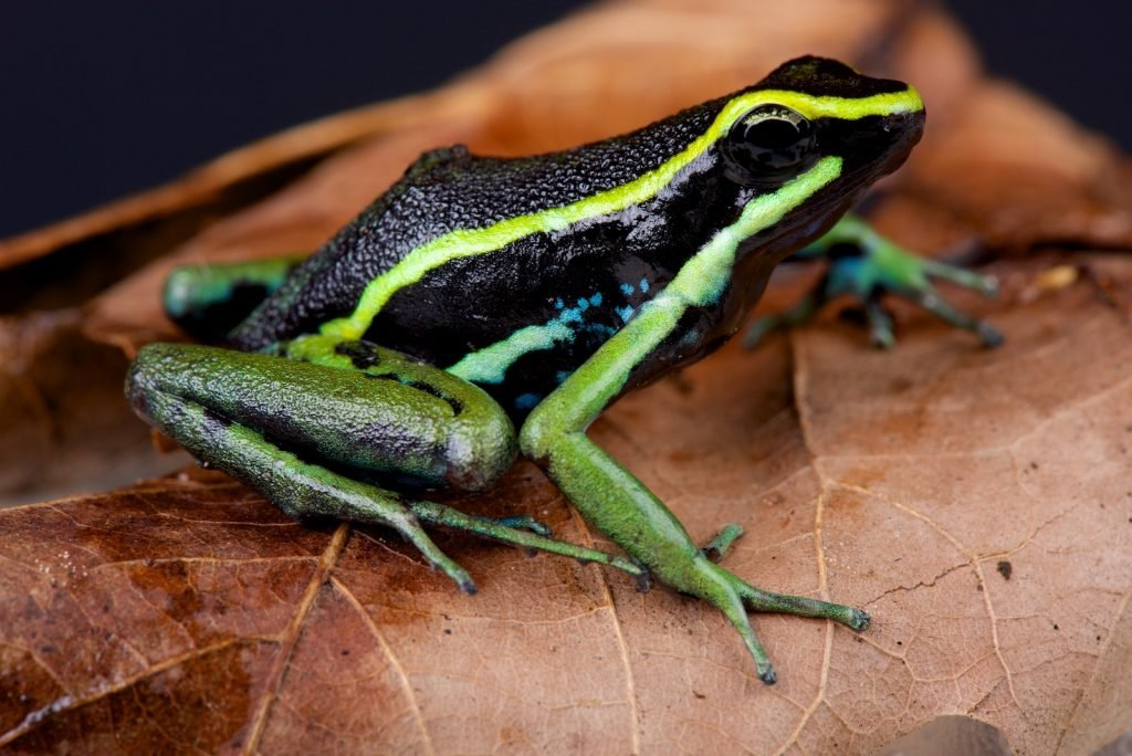The three-striped poison frog lives on the forest floor.