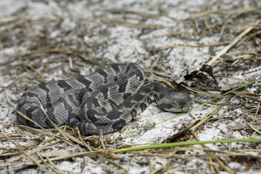 The timber rattlesnake has sharp fangs and a venomous bite that can be deadly.