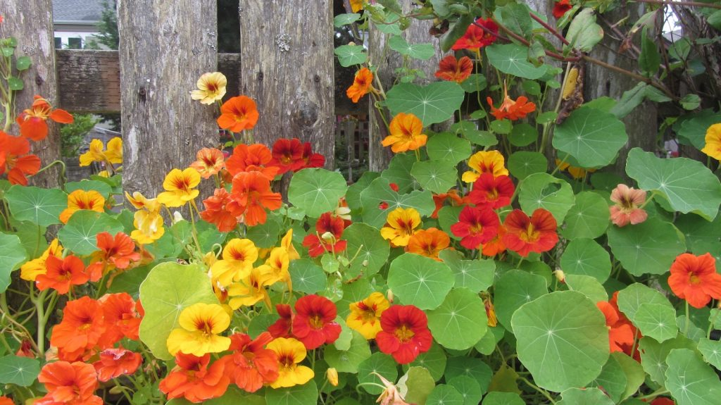 The Trailing Nasturtium makes a lovely addition to any garden and is easy to grow.