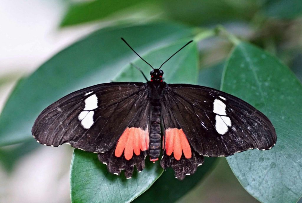 Trans Andean Cattleheart are mostly black with two white-blue patches on the upper wings.
