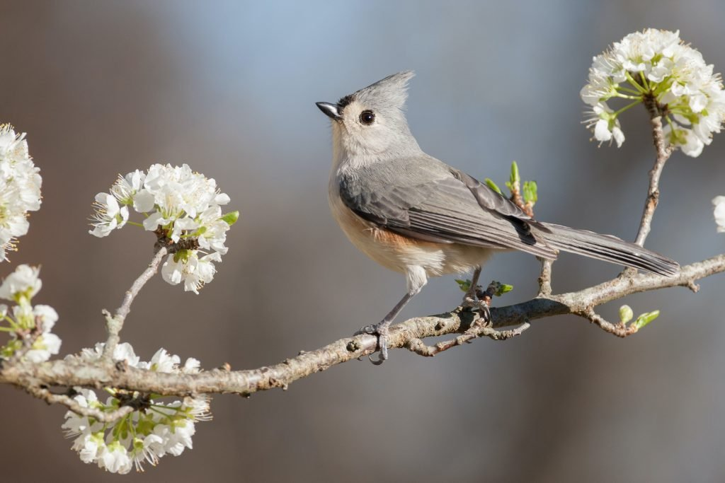 Tufted titmice are very common in forests in the eastern United States.