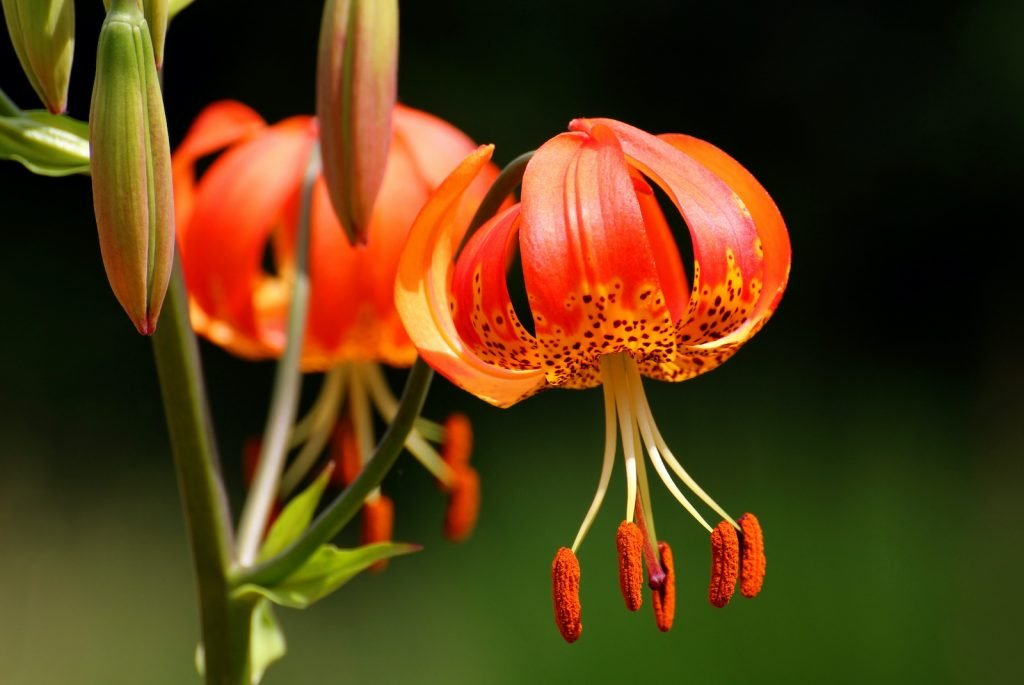 The Turk's cap lily stands out because its petals curl backward.